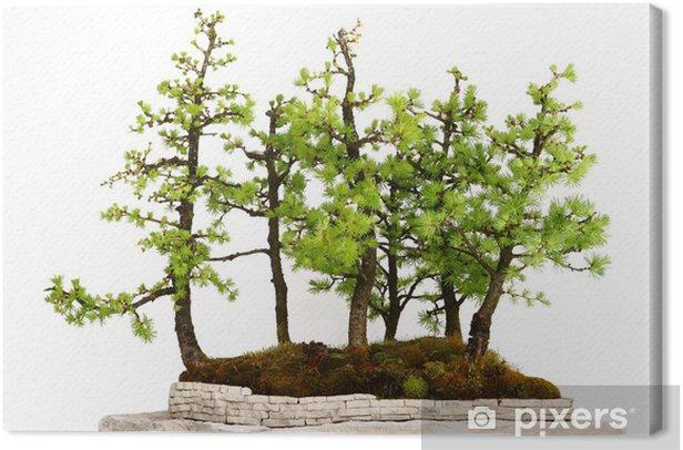 Obraz na płótnie Pojedyncze drzewa na białym tle, Modrzew lesie - Pory roku