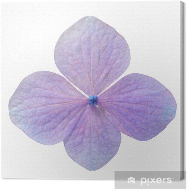 Obraz na płótnie Pojedyncze Purpurowy Hortensja Kwiat Odizolowane - Kwiaty