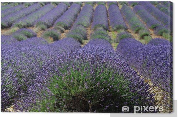 Obraz na płótnie Pola lawendy. Provence, Francja - Lawenda