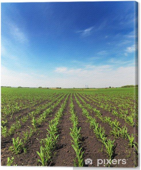 Obraz na płótnie Pole kukurydzy - Rolnictwo