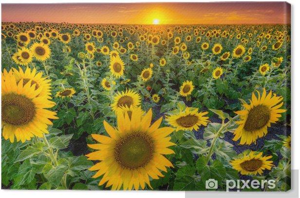 Obraz na płótnie Pole słonecznika texas - Tematy