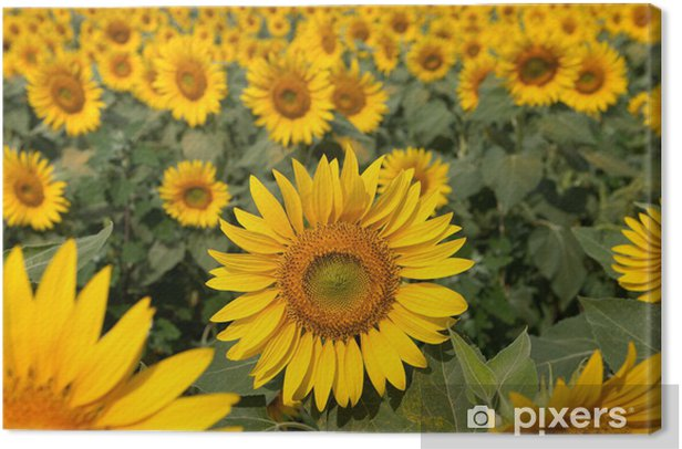 Obraz na płótnie Pole słonecznika - Tematy