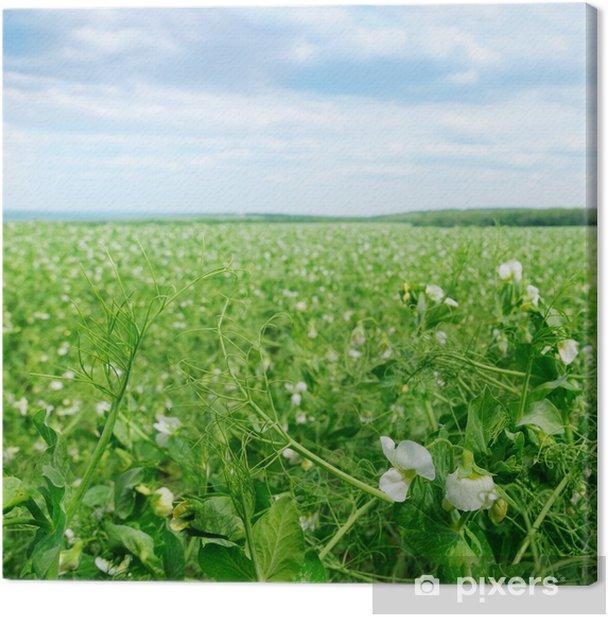 Obraz na płótnie Pole z grochem kwiatowych i błękitne niebo - Pory roku