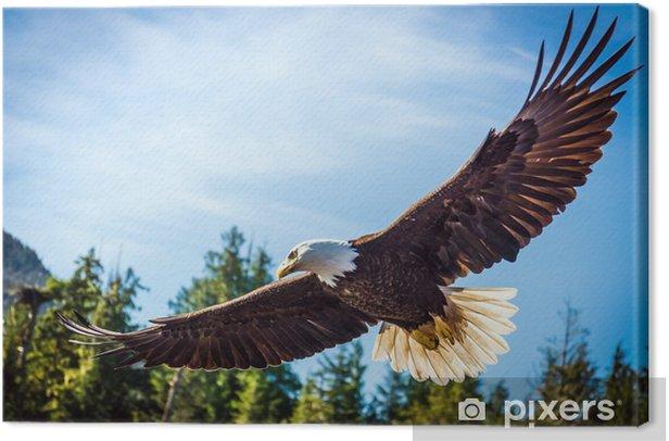 Obraz na płótnie Północ Bielik amerykański w połowie lotu, na polowanie - Ptaki