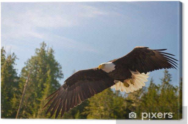 Obraz na płótnie Północ Bielik amerykański w połowie lotu, polowania wzdłuż rzeki - Tematy