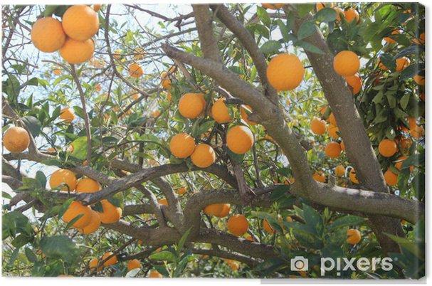 Obraz na płótnie Pomarańcze na drzewie - Posiłki