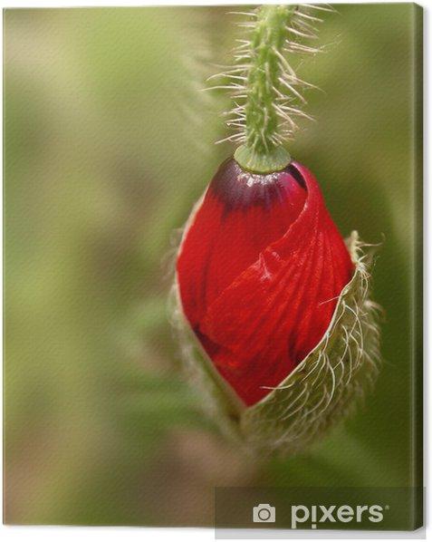 Obraz na płótnie Poppy bud - Kwiaty