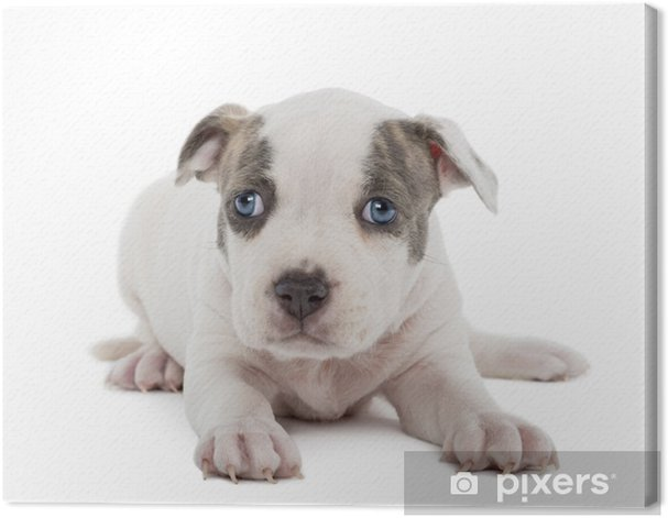 Obraz na płótnie Portret American Staffordshire Terrier puppy leżącego - Ssaki