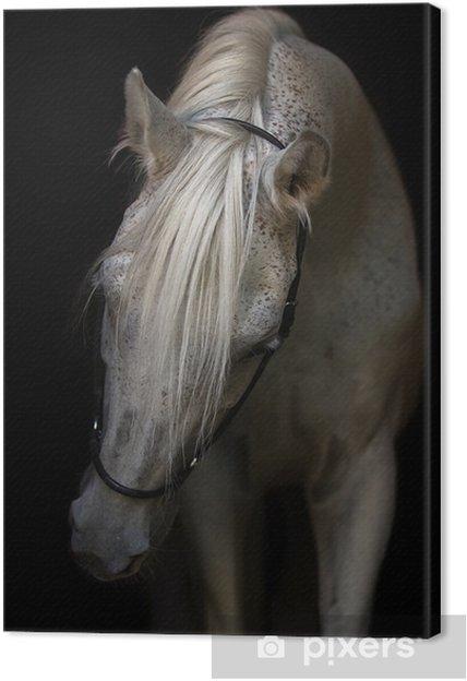 Obraz na płótnie Portret konia arabskiego na białym tle. - Zwierzęta
