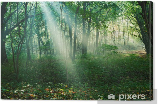 Obraz na płótnie Promienie słońca między drzewami w lesie - Drzewa