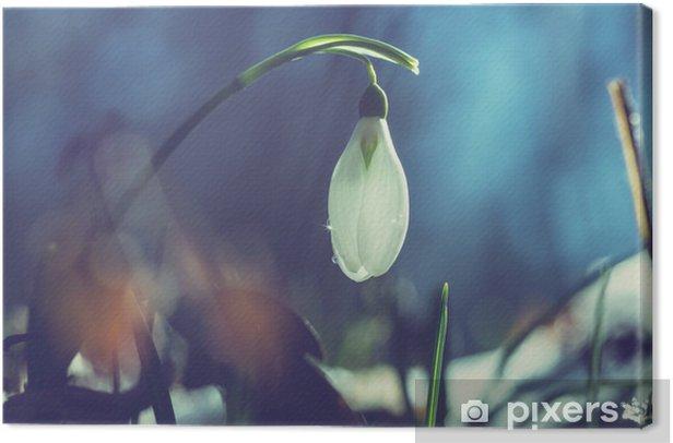 Obraz na płótnie Przebiśnieg - Kwiaty