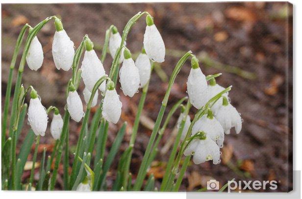 Obraz na płótnie Przebiśniegi z krople rosy rośnie w ogrodzie - Kwiaty