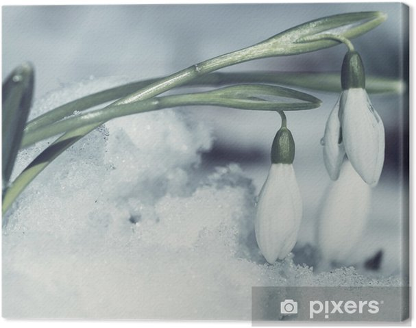 Obraz na płótnie Przebiśniegi - Kwiaty