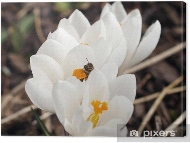 Obraz na płótnie Pszczoła i białe krokusy - Pory roku