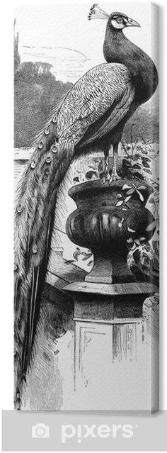 Obraz na płótnie Ptak: Paw - Paon - paw - Ptaki