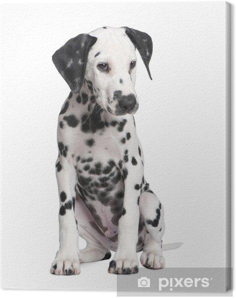 Obraz na płótnie Puppy Dalmacji - Ssaki