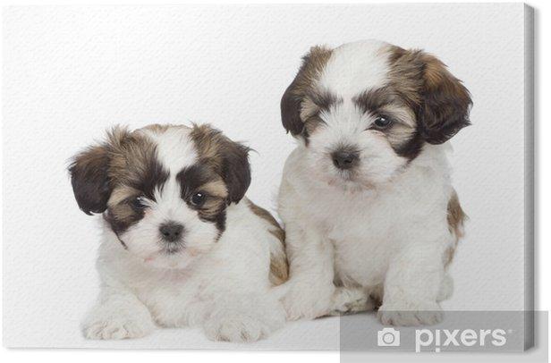 Obraz na płótnie Puppy mieszanych rasy psów między Shih Tzu i maltański pies (7 tygodni) - Ssaki