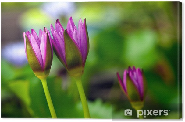 Obraz na płótnie Purpurowy grążel - Kwiaty
