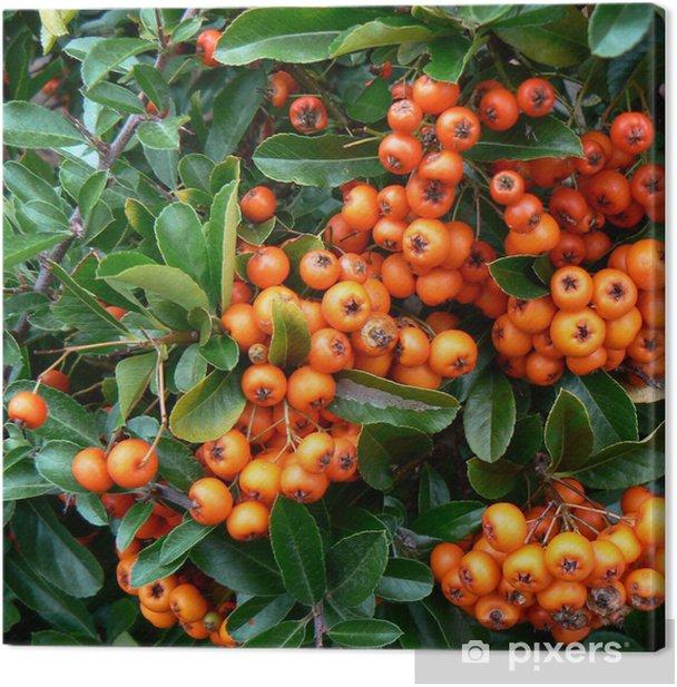 Obraz na płótnie Pyracantha - Cierń ognia, pomarańczowe jagody - Koncepcje biznesowe
