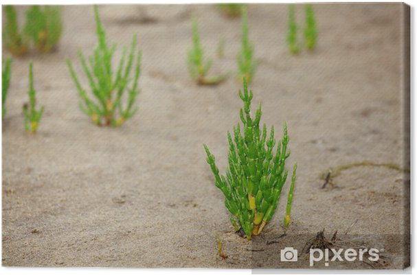 Obraz na płótnie Queller - Salicornia europaea - Kwiaty
