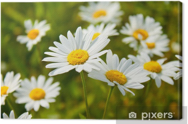 Obraz na płótnie Radiant Mageriten - Kwiaty