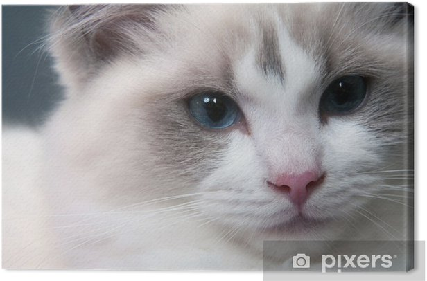Obraz na płótnie Ragdoll twarz kota - Ssaki