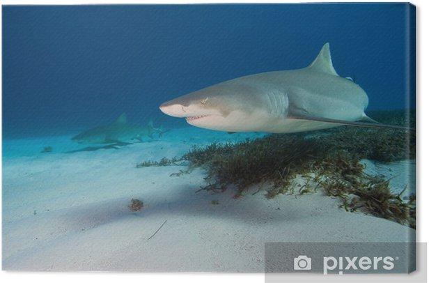 Obraz na płótnie Rekin cytryna - Zwierzęta żyjące pod wodą