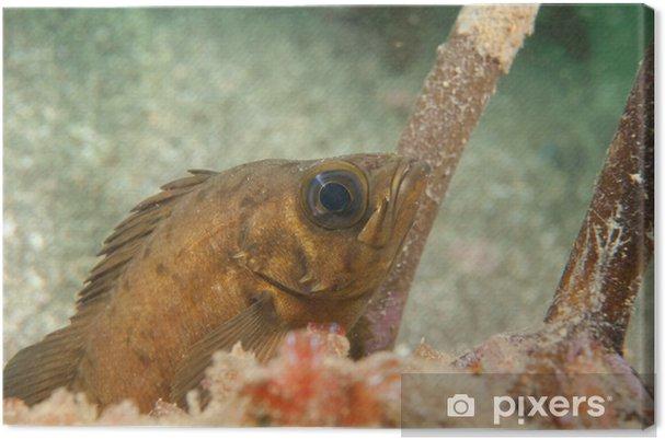 Obraz na płótnie Rockfish - Zwierzęta żyjące pod wodą