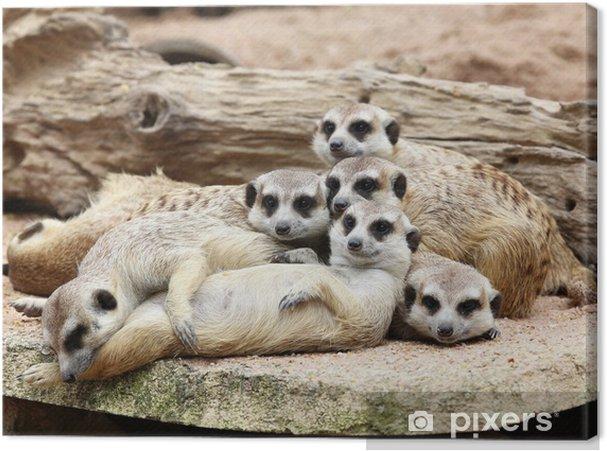 Obraz na płótnie Rodzina surykatki - Ssaki