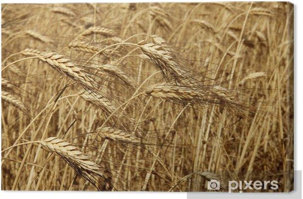 Obraz na płótnie Rolnictwo pszenica złoty suszy plony fiels - Rolnictwo