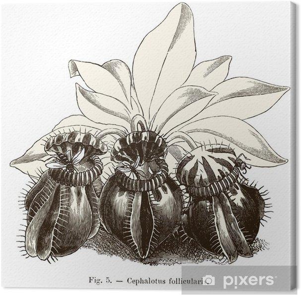 Obraz na płótnie Rośliny owadożerne: Cephalotus follicularis - Rośliny