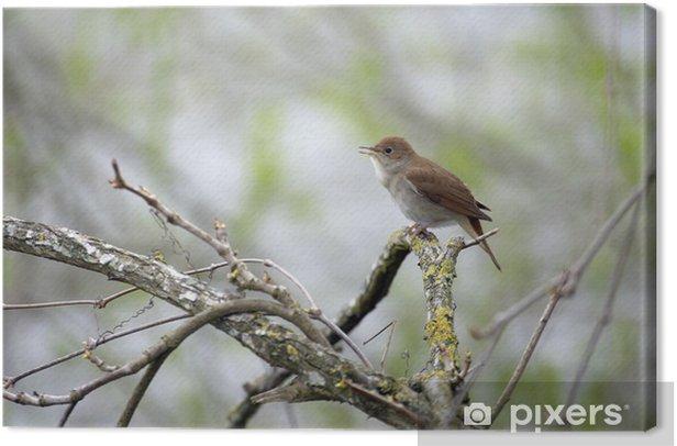 Obraz na płótnie Rossignol chantant - Ptaki