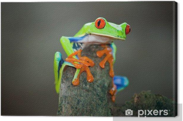 Obraz na płótnie Rotaugenfrosch, Frog, Costa Rica - Żaby