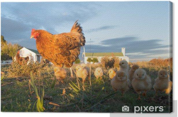 Obraz na płótnie Rozmyślać kurę i piskląt w gospodarstwie - Ptaki