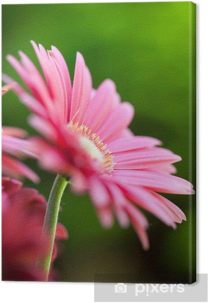 Obraz na płótnie Różowa Gerbera w ogrodzie - Kwiaty