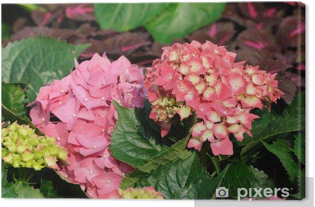 Obraz na płótnie Różowa hortensja ogrodowa - Kwiaty