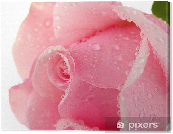 Obraz na płótnie Różowa róża na białym - Tematy