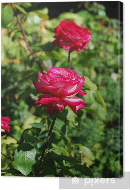 Obraz na płótnie Różowe róże - Dom i ogród