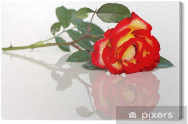 Obraz na płótnie Różowy żółty pomarańczowy odzwierciedlenie na białym tle - Kwiaty