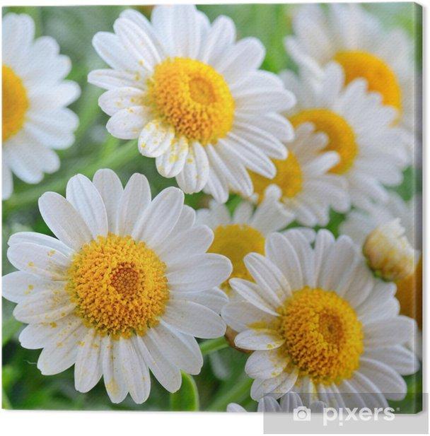 Obraz na płótnie Rumianek - Kwiaty