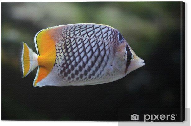 Obraz na płótnie Ryba-motyl z żółtym ogonem w akwarium - Zwierzęta żyjące pod wodą
