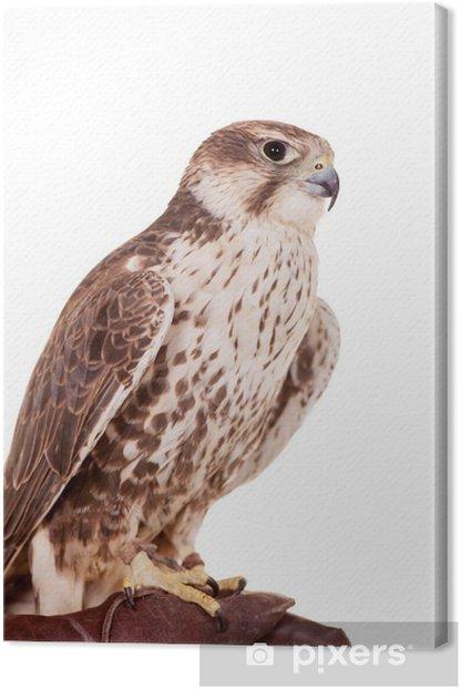 Obraz na płótnie Saker Falcon (Falco cherrug) samodzielnie na białym tle - Naklejki na ścianę