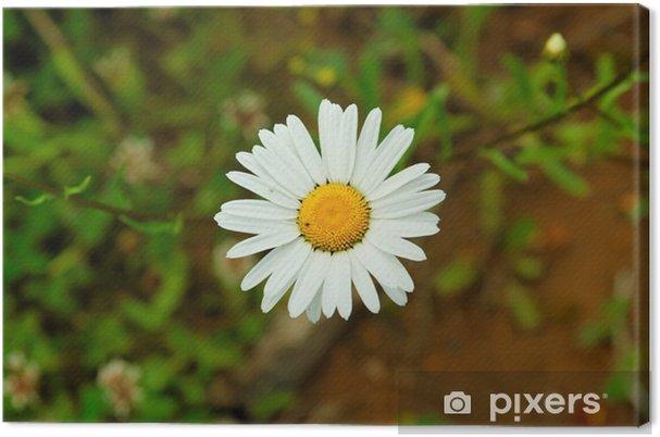 Obraz na płótnie Sam ox-eye stokrotka - Kwiaty