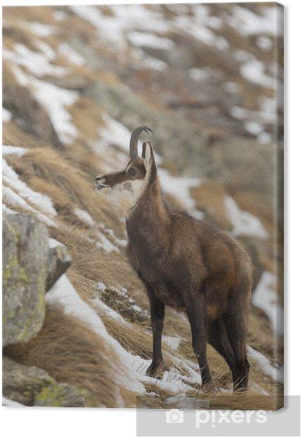 Obraz na płótnie Samodzielnie kozica jelenie w tle śniegu - Tematy
