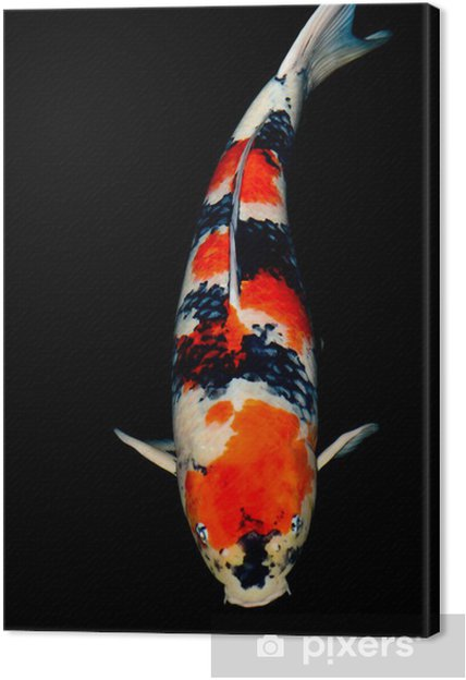 Obraz na płótnie Sanke Koi - Zwierzęta żyjące pod wodą