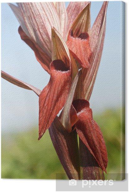 Obraz na płótnie Serapias Vomeracea - europejska dzika orchidea - Kwiaty