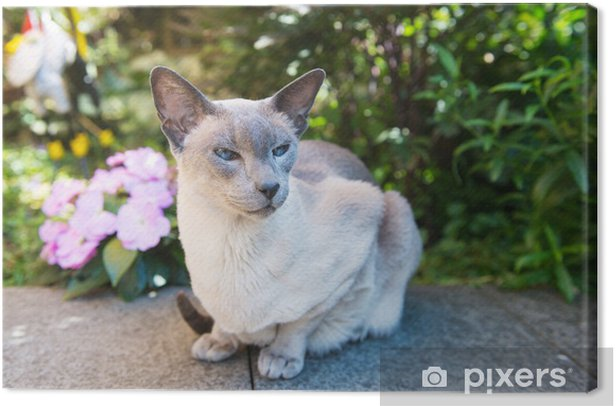 Obraz na płótnie Siamese cat Niebieski punkt - Ssaki