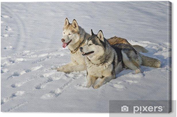 Obraz na płótnie Siberian husky siedzi w śniegu w dniu zimowego - Ssaki