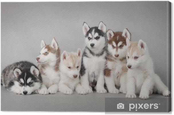 Obraz na płótnie Siberian husky szczeniak - Husky
