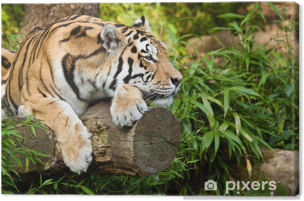 Obraz na płótnie Sibirischer Tiger (Panthera tigris altaica) - Tematy